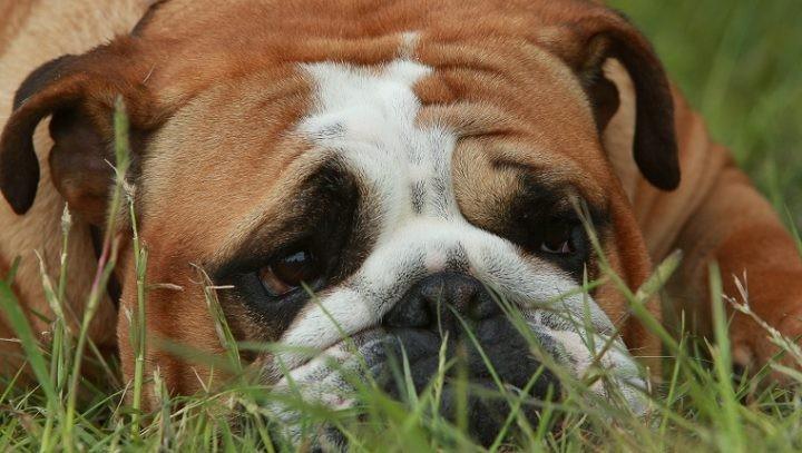 cães com superaquecimento