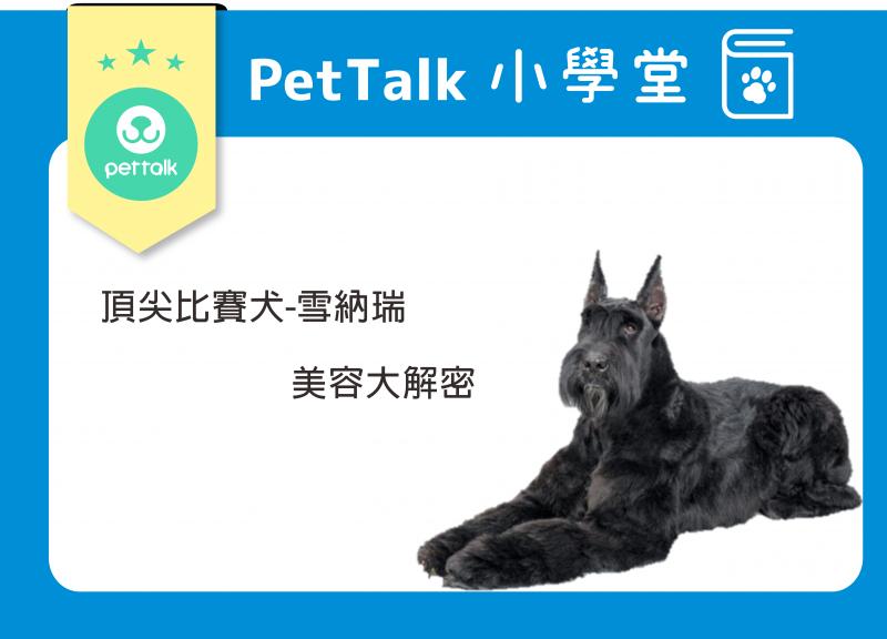 【PETTALK小學堂】比賽犬雪納瑞-美容大解密