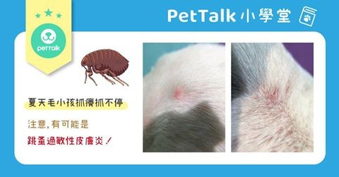 【PETTALK小學堂】蟲蟲危機-跳蚤過敏性皮膚炎