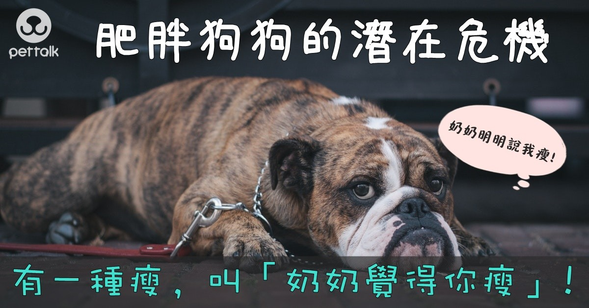 肥胖狗狗的潛在危機|PetTalk愛寵健康談