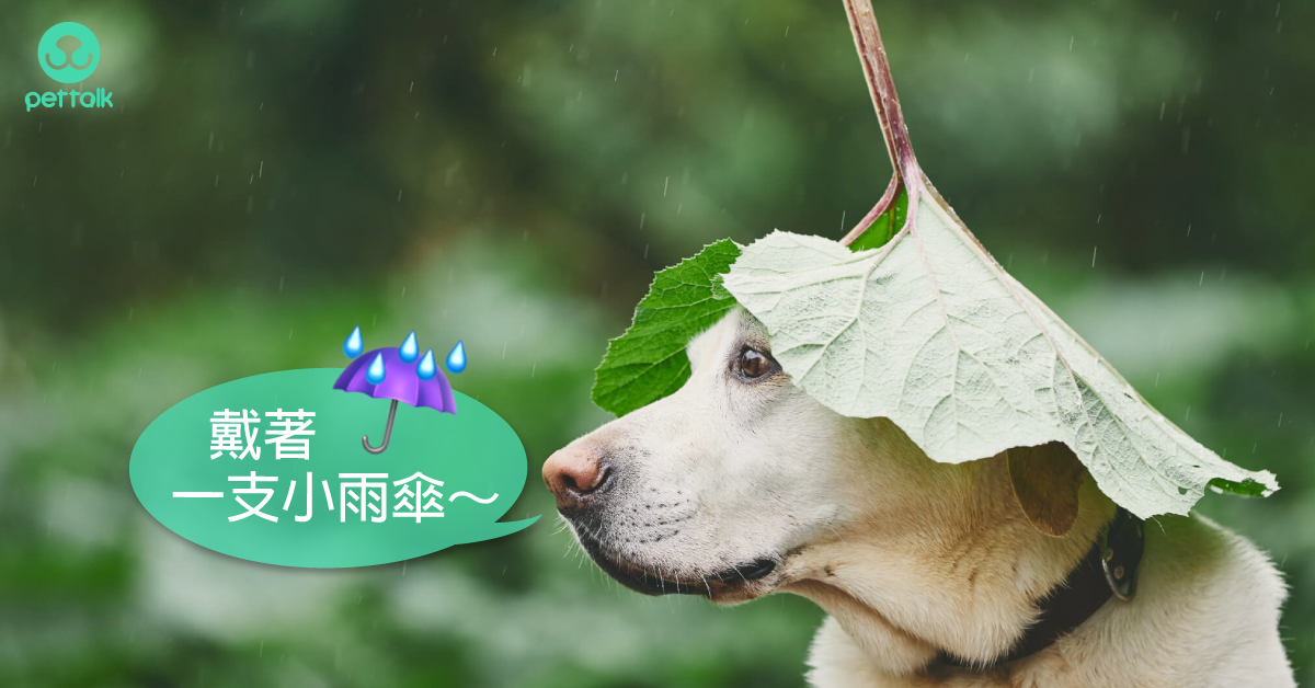 大雨繼續下!沒打疫苗,鉤端螺旋體可能要了狗狗的命!|PetTalk愛寵健康談