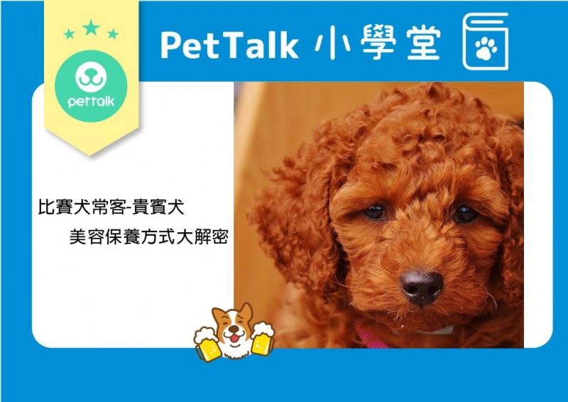 【PETTALK小學堂】比賽犬常客-貴賓犬的美容保養方式大解密