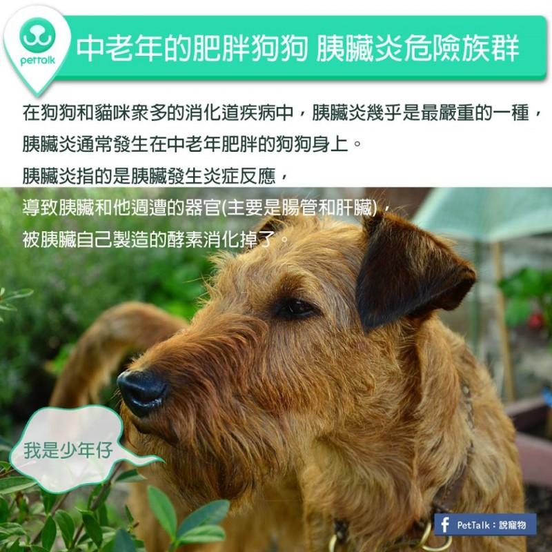【PETTALK小學堂】中老年的肥胖狗狗,是胰臟炎危險族群
