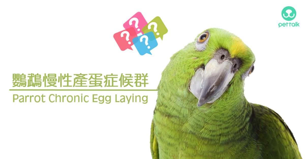鸚鵡慢性產蛋症候群|PetTalk愛寵健康談