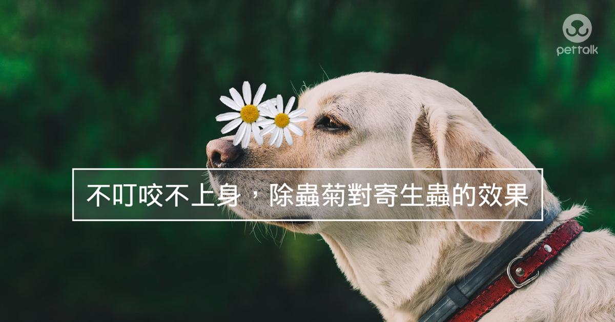 不叮咬不上身,除蟲菊對寄生蟲的效果|PetTalk愛寵健康談