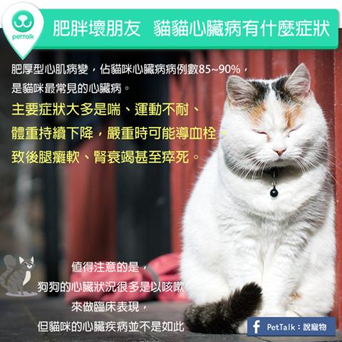 【PETTALK小學堂】肥胖壞朋友,貓貓心臟病有什麼症狀