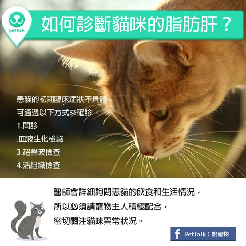 【PETTALK小學堂】肥胖疾病,如何診斷貓咪的脂肪肝?